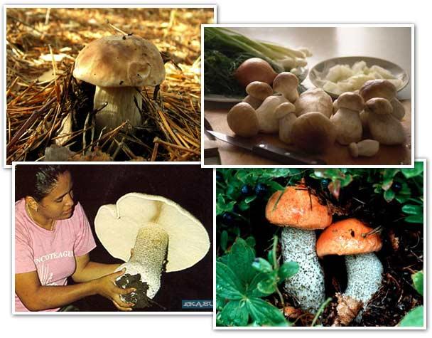 белый гриб царский фото