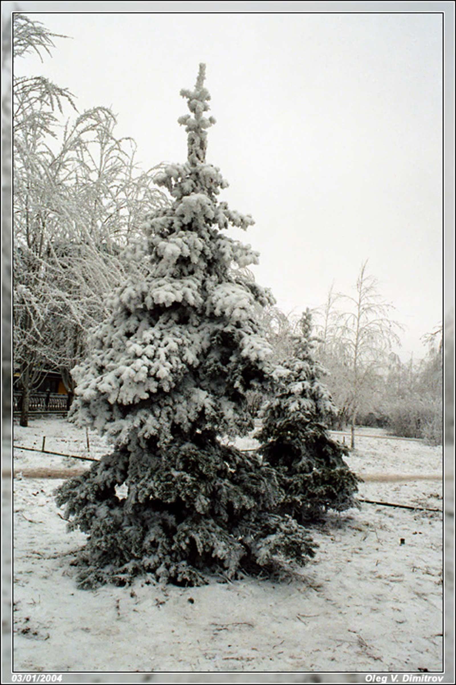 пихта зимой