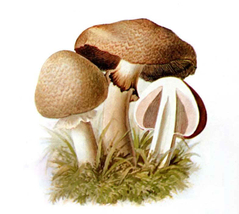 фото грибы шампиньоны