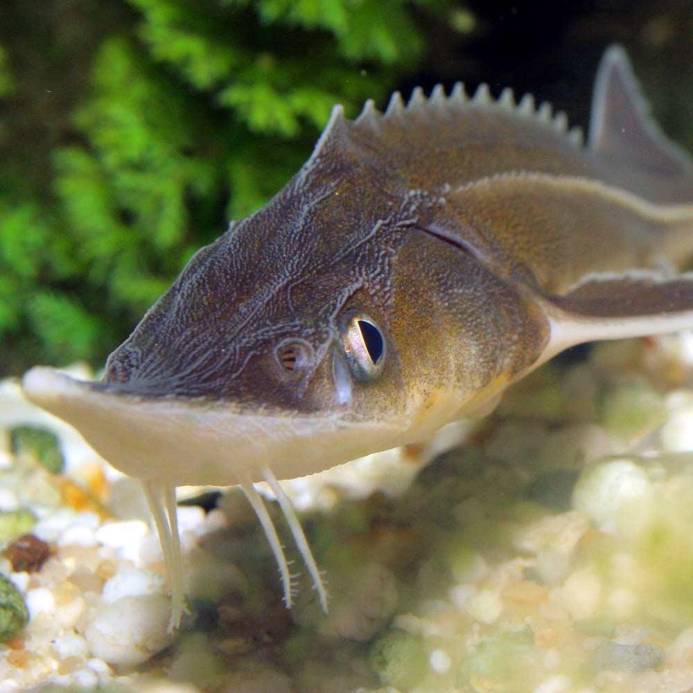 фото рыбы стерлядка